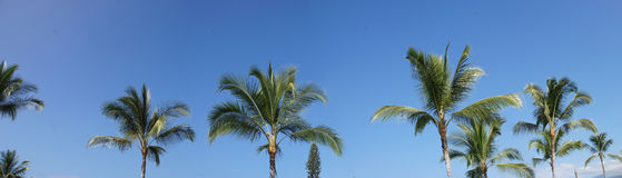 Coconut palms against clear blue skies Royalty Free Stock Image