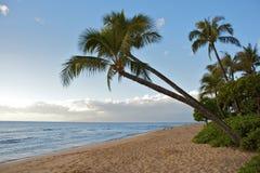 Coconut Palms Along the Beach. Coconut palm trees reach out over a maui beach Stock Photos
