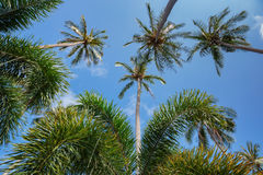 Coconut palms on the background of blue sky Royalty Free Stock Photos