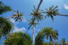 Coconut palms on the background of blue sky Royalty Free Stock Images