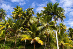 Coconut palms. Stock Photos