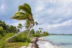 Coconut palms in the bahamas Royalty Free Stock Photos