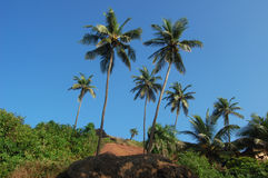 Coconut palms on the beach . Arambol, Goa Royalty Free Stock Image