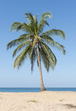 Coconut palms Stock Images