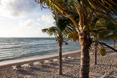 Coconut Palms on Beach with Chaise Lounges Stock Image