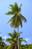 Coconut palms on blue sky background Stock Images