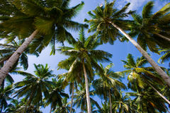 Coconut palms on blue sky background. Indonesia. Indian Ocean. Stock Photo