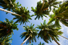 Coconut palms on blue sky background. Indonesia. Indian Ocean. An excellent illustration Royalty Free Stock Photography