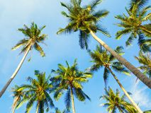 Coconut Palms. And blue sky background, Thailand Royalty Free Stock Photos