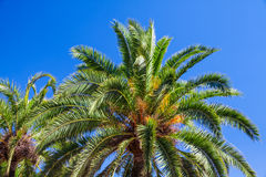 Coconut palms on blue sky Royalty Free Stock Photography