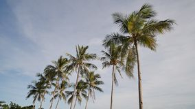 Coconut palms with coconuts on a Filipino beach near the ocean close up. Exotic beach. Coconut palms with coconuts on a Filipino beach near the ocean close up stock video