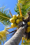 Coconut Palms full of coconuts Stock Photography