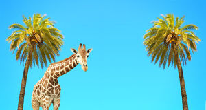 Coconut palms and giraffe Stock Photos