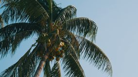 Coconut palms with green coconuts on palm tree. Coconut palms with green coconuts on a palm tree stock video footage
