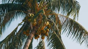 Coconut palms with green coconuts on palm tree. Coconut palms with green coconuts on a palm tree stock footage