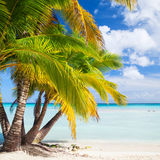 Coconut palms grow on white sandy beach Royalty Free Stock Image