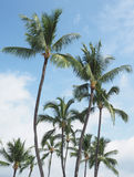 Coconut Palms in the Hawaiian Islands Royalty Free Stock Images
