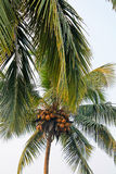 Coconut palms. On the Indian ocean, GOA Stock Photos