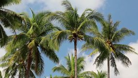 Coconut palms on Koh Chang island in Thailand stock footage