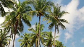 Coconut palms stock footage