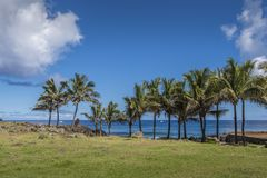 Coconut palms lined up on the coast of Hanga Roa. Some of the few regrown trees on Easter Island, especially coconut palms royalty free stock photography