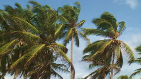 Coconut palms. Moving in the wind against blue sky stock footage