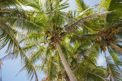 Coconut Palms: Mystery Islands. Low angle view of coconut palm tree under a blue sky on Mystery Island, Vanuatu Stock Photos
