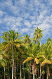 Coconut palms over blue sky background Royalty Free Stock Image