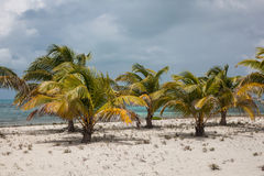 Coconut Palms on Sandy Beach in Caribbean Royalty Free Stock Photography