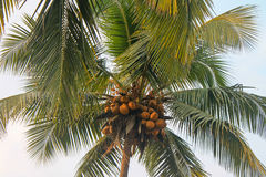 Coconut palms on the shore of the Indian ocean. GOA, India Royalty Free Stock Photo
