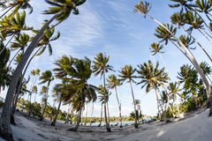 Coconut Palms on South Pacific Island. Flexible coconut palms grow on a remote South Pacific island. This region harbors some of the world's most beautiful Royalty Free Stock Image