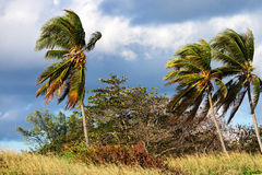 Coconut palms and strong winds Royalty Free Stock Image
