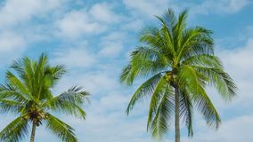 Coconut palms swaying on sky background stock video footage