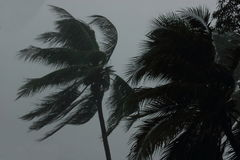 Coconut palms tree during heavy wind or hurricane. Rainy day.  Stock Photography
