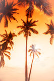 Coconut palms is in tropic on sunset. Stock Images