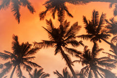 Coconut palms is in tropic on sunset. Royalty Free Stock Photos