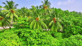 Coconut palms on a tropical island in the Maldives Royalty Free Stock Photo
