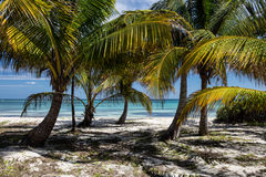 Coconut Palms on Tropical Island Royalty Free Stock Images