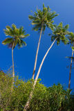 Coconut palms Stock Image
