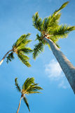 Coconut palms under blue Caribbean sky Royalty Free Stock Photos
