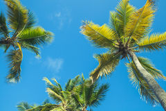 Coconut palms under blue sky background Stock Photo