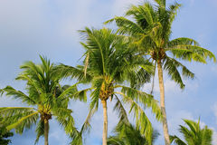 Coconut palms. View of nice tropical background with coconut palms. Thailand Stock Image
