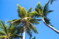 Coconut palms on wind under blue sky background Royalty Free Stock Image