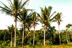 Coconut palmtrees in brazilian tropical forest. Coconut palmtrees in brazilian tropical rain forest of Trancoso in a very sunny day Stock Images