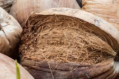 Coconut Perfume is cutting with coconut shell`s hair. Coconut Perfume is cutting with coconut shell`s hair royalty free stock photography