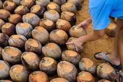 Free Coconut Perfume Is Cutting Head For Breeds Royalty Free Stock Photography - 111387127