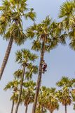 Coconut picker Stock Images