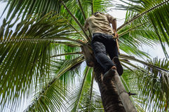 Coconut picker Royalty Free Stock Image