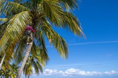 Coconut picker in palm tree. Coconut plucker climbing up palm tree to pick up the coconuts Stock Image