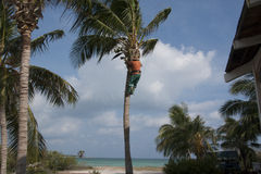 Coconut picking. Harvesting the  coconuts on a Cuban beach Royalty Free Stock Photos